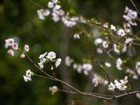 奇怪,上海多座公园的樱花开了,为何要说别抱太大期望?